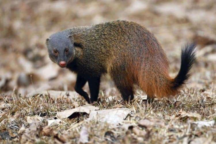 POLL: Should the illicit trade in mongoose hair be strictly enforced?