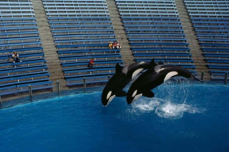 POLL: Should there be a worldwide ban on captive orca shows?