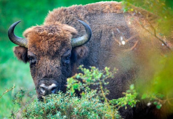 Wild Bison Return to Europe After a Century