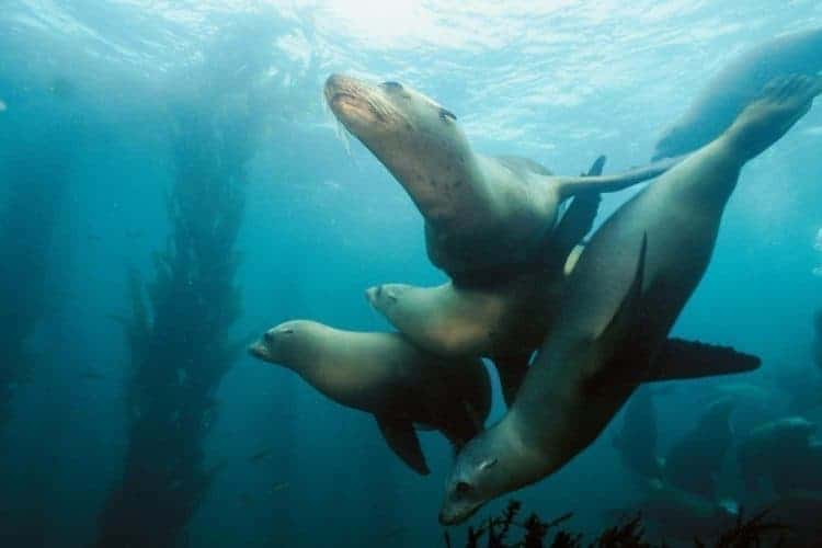 Toxic Algae Causing Brain Damage, Memory Loss in Sea Lions