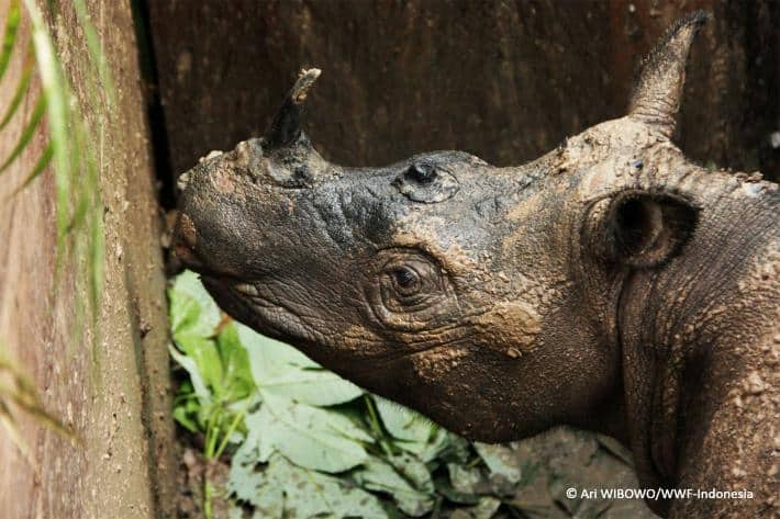 Rare Sumatran Rhino Found for First Time in 40 Years