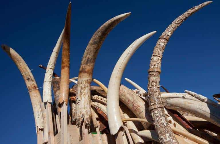 POLL: Could a referendum to ban ivory sales be a model for other countries?