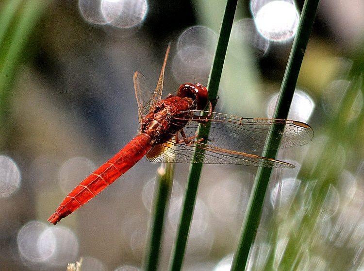 030718 dragonfly scarlet darter 1500