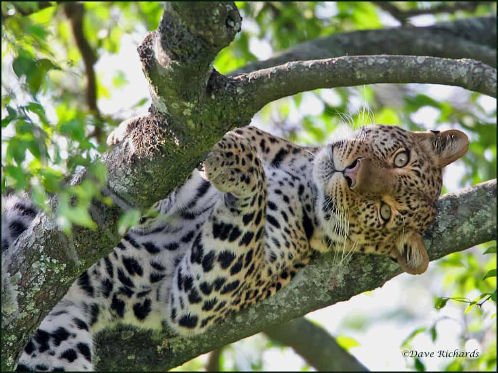 леопард самка картинки есть вопросы луневу