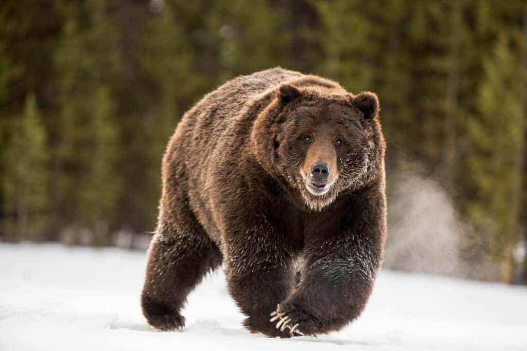 POLL: Should Yellowstone Grizzlies be removed from the Endangered List?