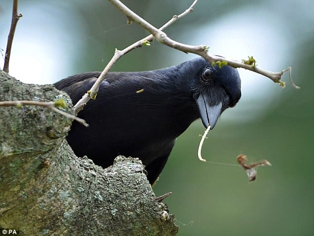 POLL: Should crows and foxes be culled to protect ground-nesting birds?