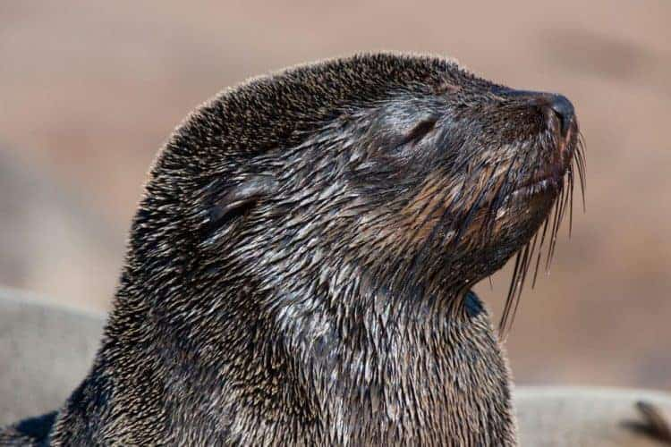 POLL: Should Namibia's cape fur seal trade be banned?