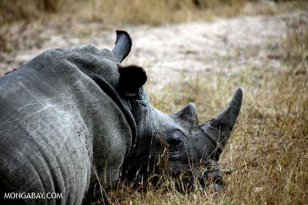 Amid rhinoceros poaching frenzy, dark days for South African society