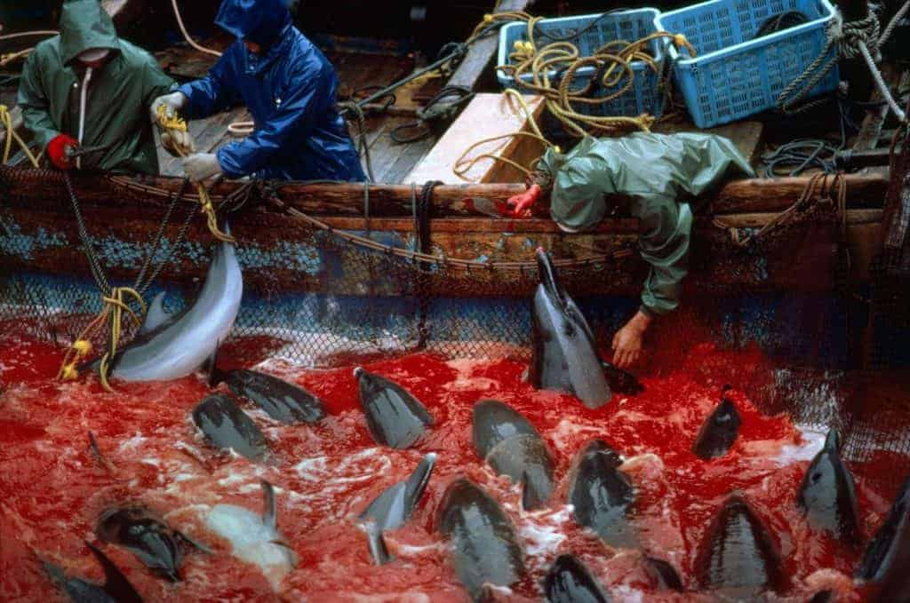 POLL: Should Japan be sanctioned for slaughtering dolphins and whales?