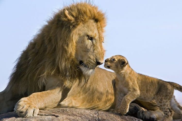 Urgent action needed to save the lion, king of the jungle in the wild, from slaughter