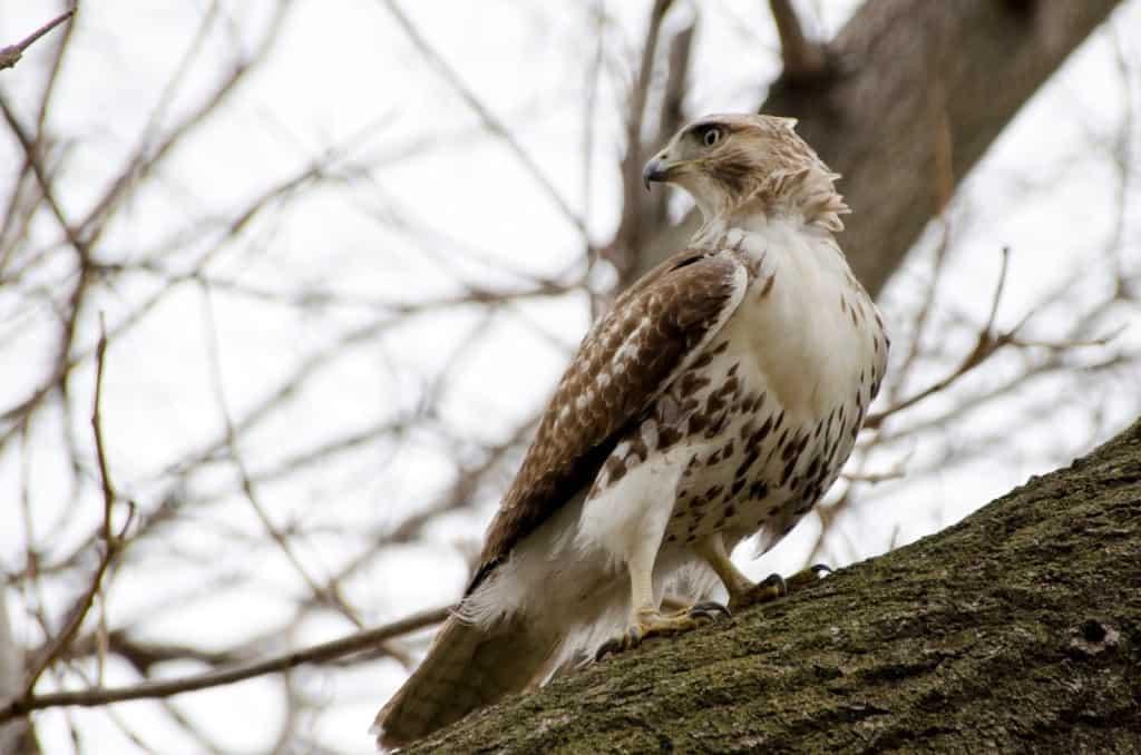 Restless Hawk