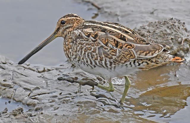 Snipe and Others