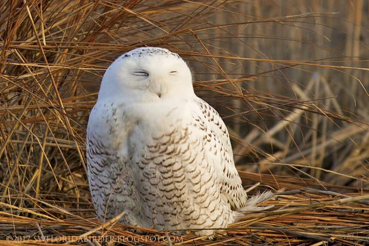 Snowy Owl At Long Beach Connecticut