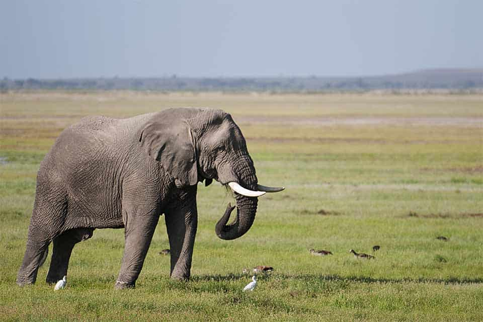 Pink-backed Pelican in Amboseli National Park