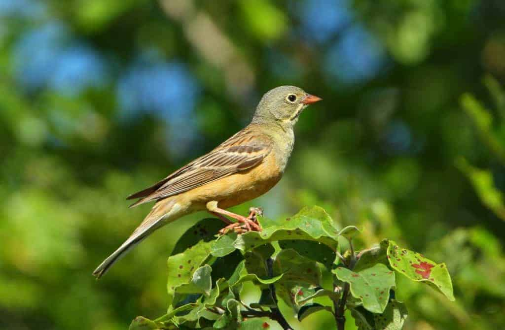 POLL: Should the Ortolan Bunting poaching ban be strictly enforced in France?