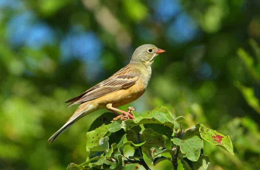 A male Ortolan Bunting. Photo: Aurelien Audevard
