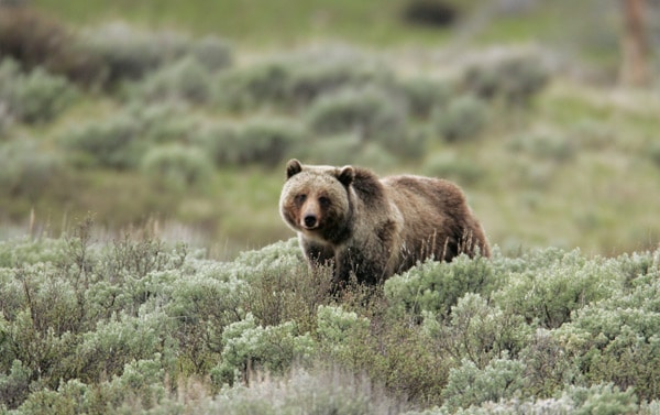 Wolves boost food for Yellowstone's threatened grizzlies