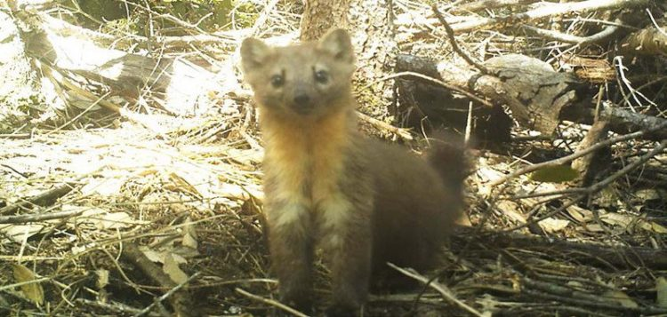 Oregon Bans Trapping of Humboldt Martens
