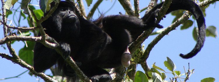 Pesticides could be painting black howler monkeys yellow in Costa Rica
