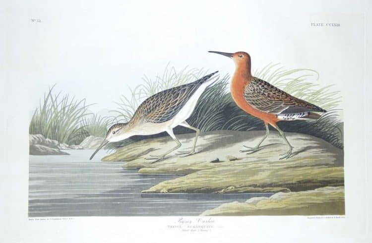 Rare Art Works by John James Audubon at Auction on December 5th Part II
