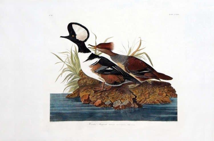 Rare Art Works by John James Audubon at Auction on December 5th Part I