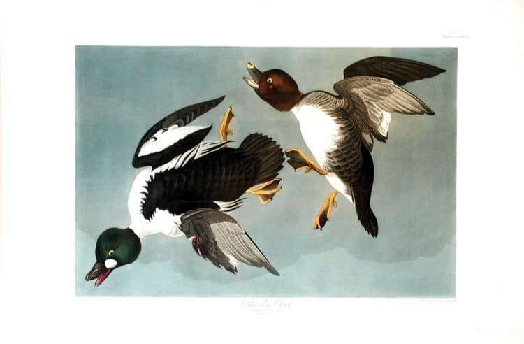 Rare Art Works by John James Audubon at Auction on December 5th Part IV