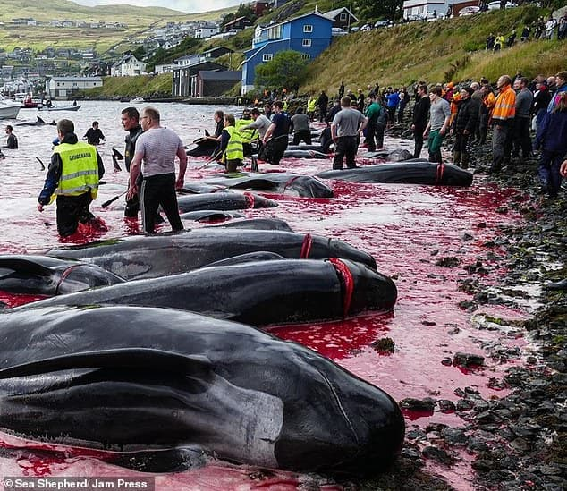 Gruesome images show dead whale calves inside their pregnant mothers' carcasses after hunters massacre 94 in just 12 minutes