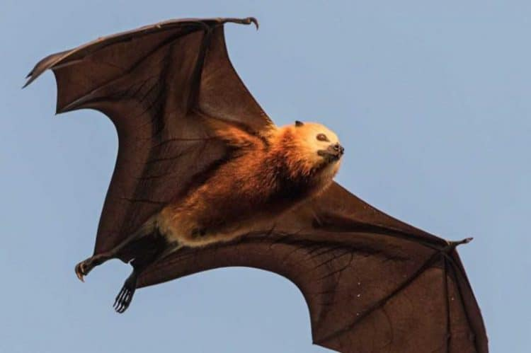 POLL: Should Mauritian flying foxes be culled to protect farmers's fruit trees?