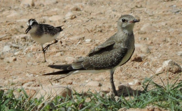 Collared pratincole twitched at Raysut