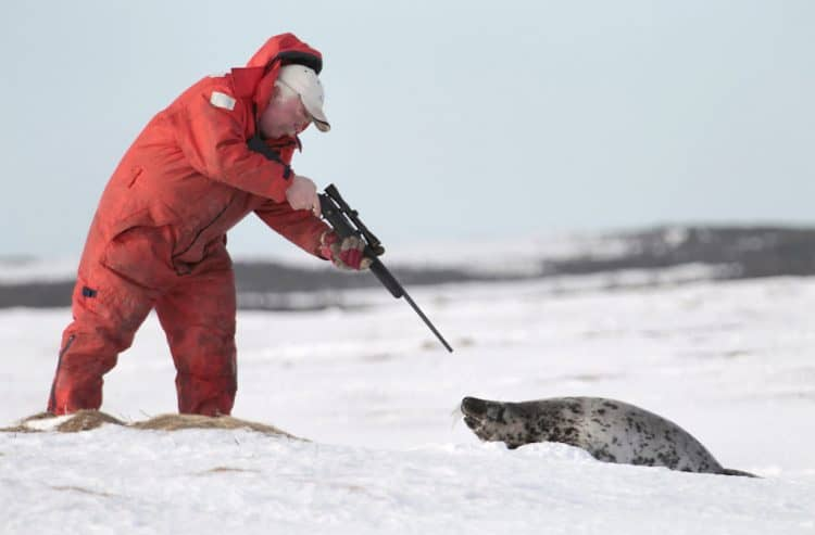 Cruel Canadian seal hunt begins again