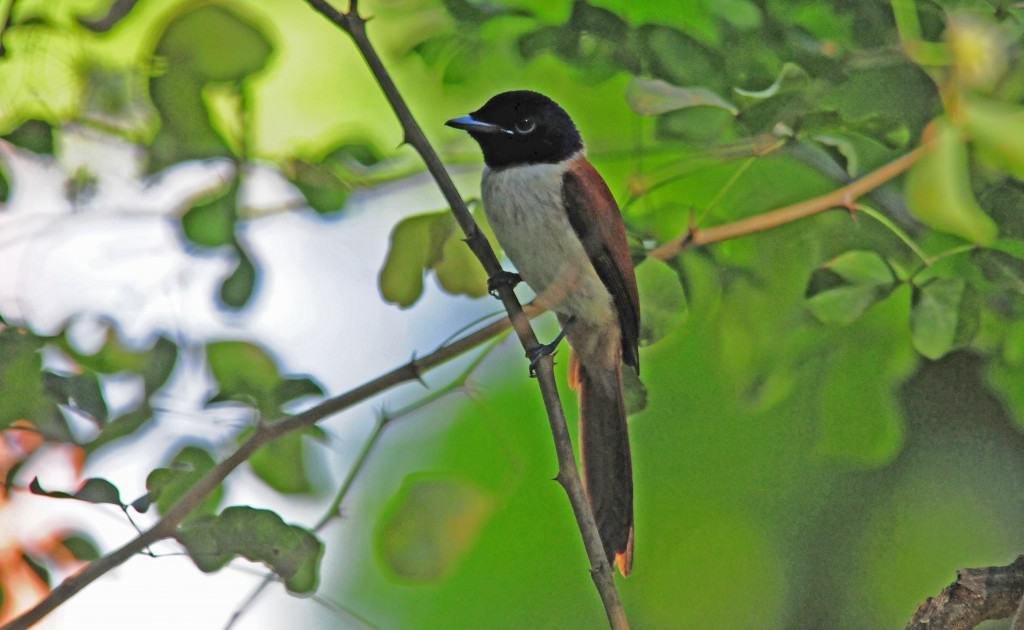 Female paradise fly catchers1