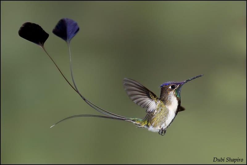 Male Spatule-Tailed Hummingbird Woos A Female