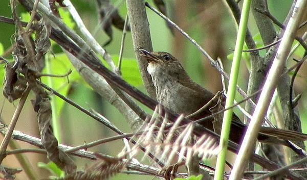 Timor Bush-warbler rediscovered