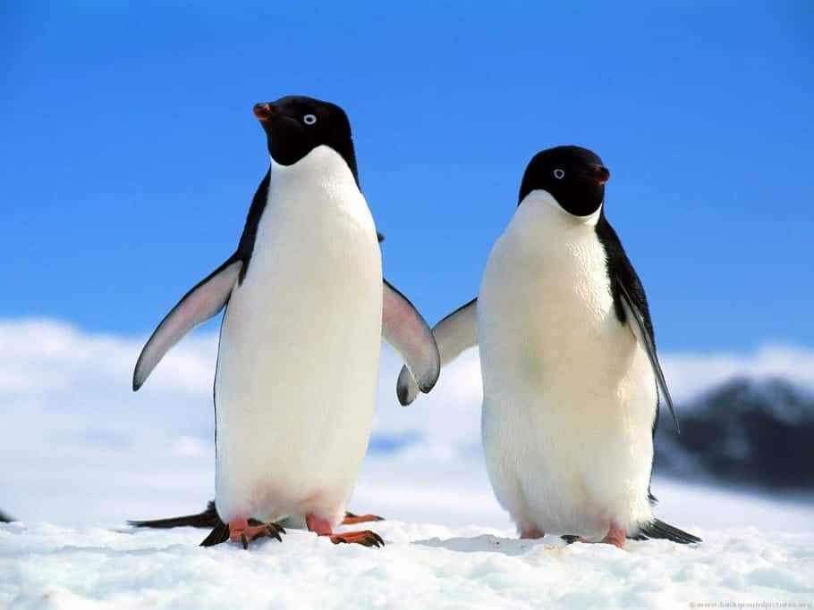 Antarctic warming changing penguin breeding cycles, and success
