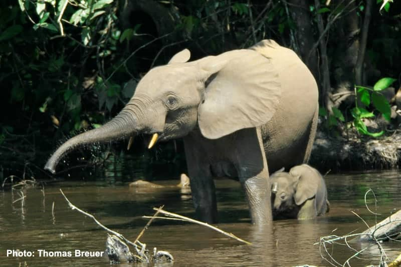 62% of all Africa's forest elephants killed in 10 years (warning: graphic images)