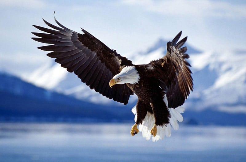 POLL: Should the regulations on the killing of Bald Eagles be loosened?