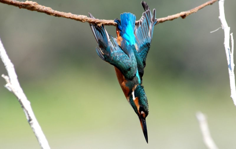 Cyprus Bird Trapping - Kingfisher