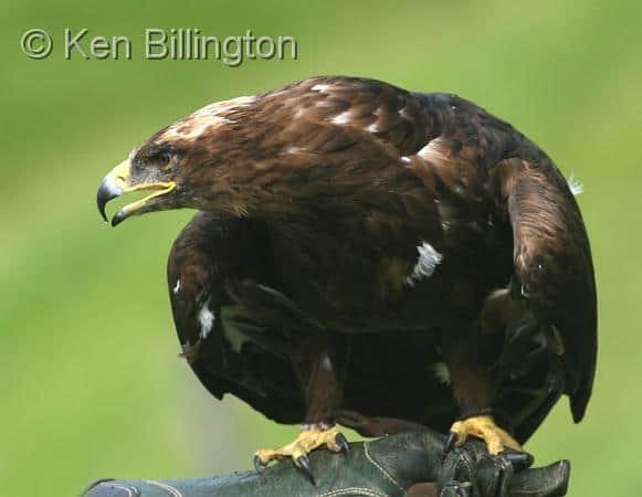 Responding to a Proposed Eagle Take Permit
