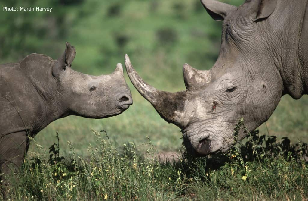 What Are the Causes of Black Rhino Endangerment?