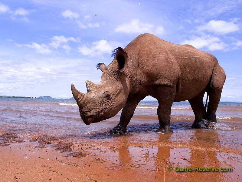 Black rhino hunting permit auctioned for $350,000
