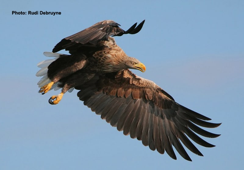 Scotland's White-Tailed Eagles Soar to New Heights