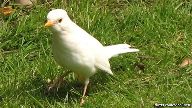 All-White Blackbird Photographed