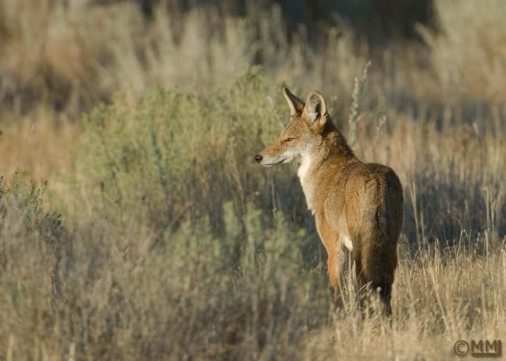Studies Show Outdoor Cats Are Popular Prey for Coyotes