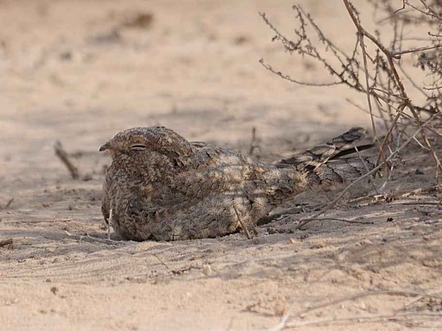 Birding in Saudi Arabia – Challenges