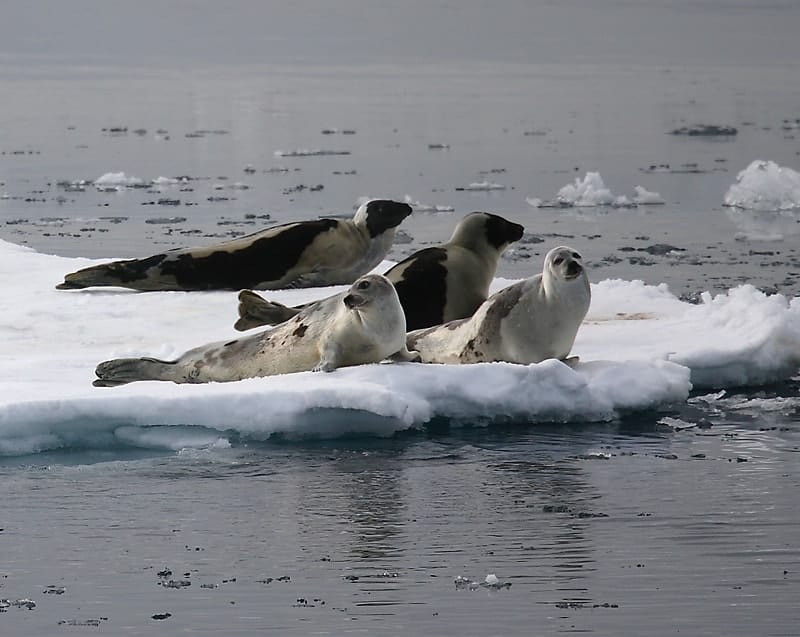 Climate changing outlook for harp seals