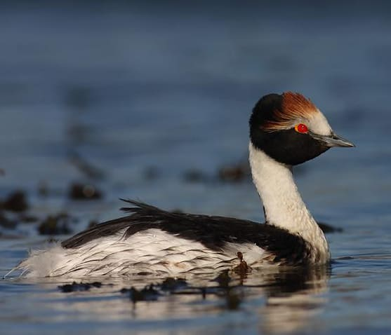 International appeal for Patagonian grebe in crisis