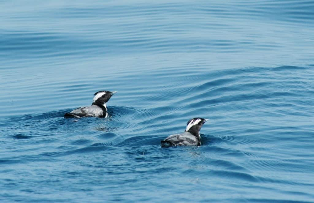 New Stronghold For Japanese Murrelet Found