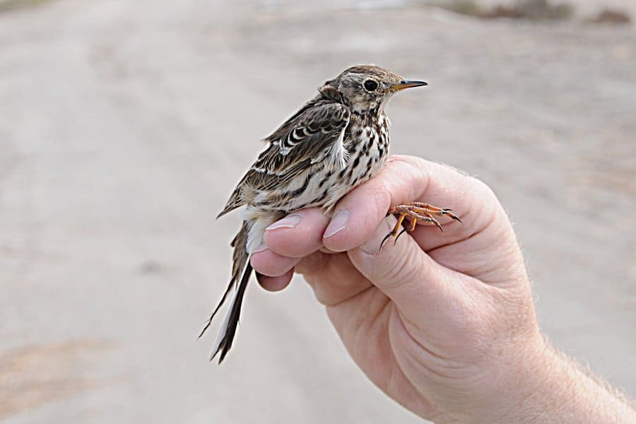 First record for Bahrain, Siberian Buff-bellied Pipit (Anthus rubescens japonicas) – Alba Marsh Bahrain