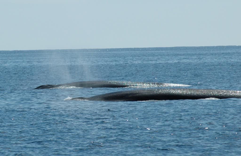 Fin Whales off the Irish south coast…