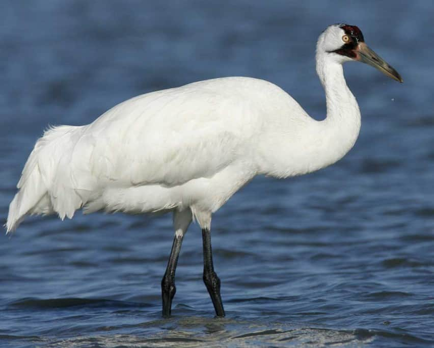 Whooping Crane Found Fatally Shot in Indiana